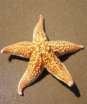 2Pcs-Dried-Star-fish-Sea-Star-Beach-Craft-Wedding-Party-Home-Decoration-Gift-starfish-estrellas-de-mar-estrela-do-mar-star-fish-